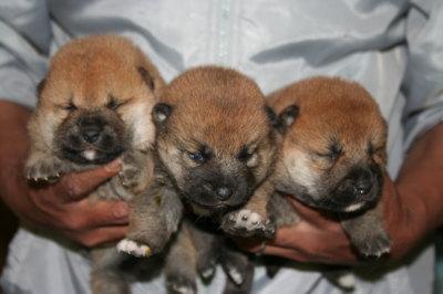 柴犬茶色(赤)の子犬メス3頭、生後2週間画像