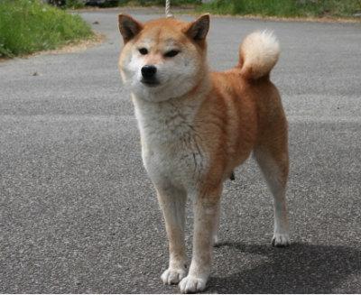 柴犬茶色(赤)の成犬メス画像