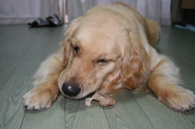 ゴールデンレトリバーの成犬メス画像