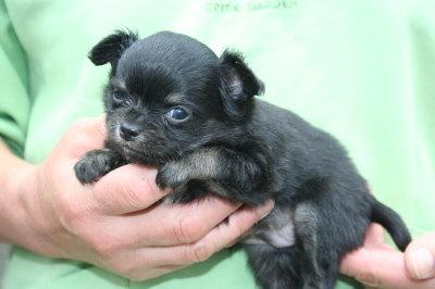 チワワブラックタンの子犬オス、生後35日画像