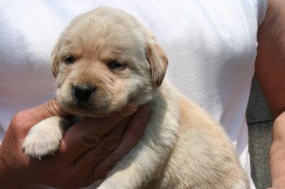 ラブラドールイエロー(クリーム)の子犬オス、生後3週間画像