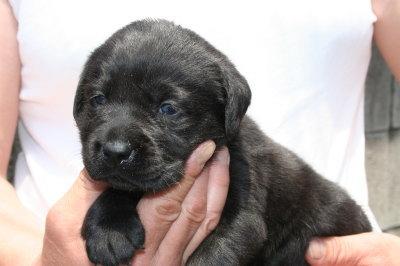 ラブラドール黒(クロラブ)の子犬メス、生後3週間画像