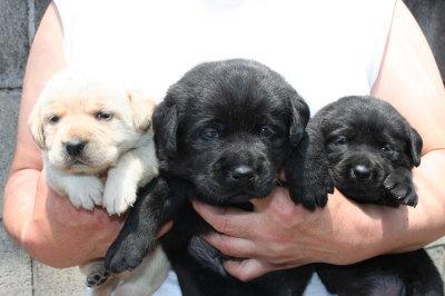 ラブラドールイエローメスブラックオスメスの子犬、生後3週間画像