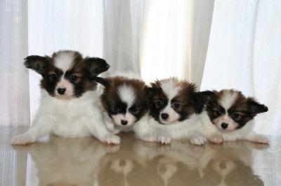 パピヨン白茶の子犬オス2頭メス2頭、生後45日画像