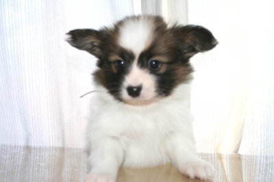 パピヨン白茶の子犬オス、生後45日