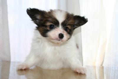 パピヨン白茶の子犬メス、生後45日画像