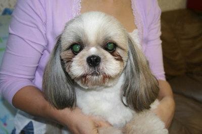 シーズーの成犬画像