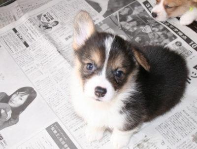 ウェルシュコーギートライカラーの子犬オス画像