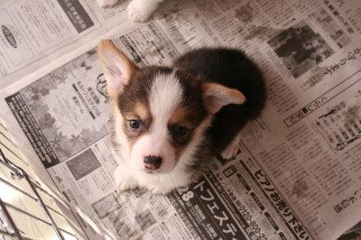 ウェルシュコーギートライカラーの子犬メス画像