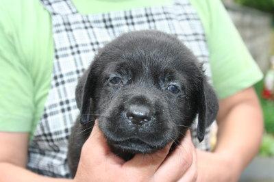 ラブラドールブラック(黒ラブ)の子犬オス、生後1ヶ月画像