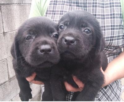 ラブラドールブラック(黒ラブ)の子犬オス2頭、生後1ヶ月画像