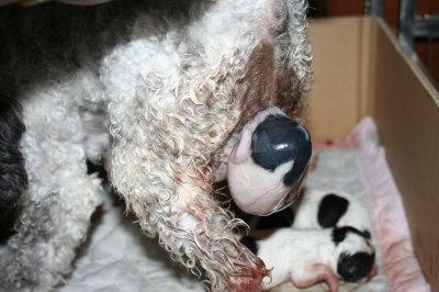 トイプードル白黒パーティー出産(お産)画像