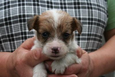 ジャックラッセルテリア白茶の子犬オス、生後4週間画像