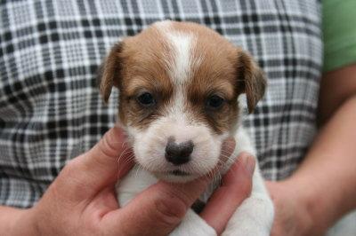ジャックラッセルテリア白茶の子犬メス、生後4週間画像