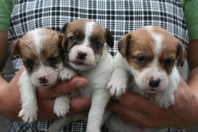 ジャックラッセルテリア白茶の子犬オス2頭メス1頭、生後4週間画像