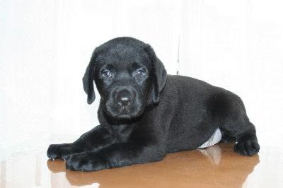 黒ラブ(ラブラドールブラック)の子犬オス、生後45日画像