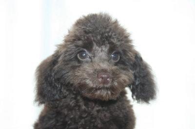 トイプードルブラウンの子犬オス、生後100日画像