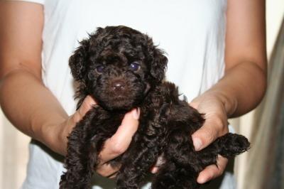 トイプードルブラウンの子犬オス、生後5週間画像