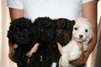 トイプードル子犬、ブラックオスメスブラウンオスホワイトメス、生後5週間画像