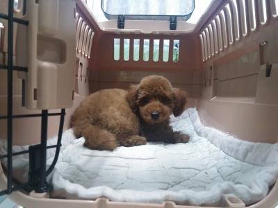 トイプードルレッドの子犬オス、生後2ヶ月空輸画像