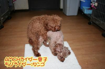 トイプードルレッド犬の交配、種オスティーカッププードルレッドオス画像