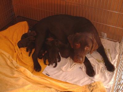 ラブラドールチョコレート色(チョコラブ)の子犬オスメス、生後3日画像