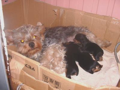 ヨークシャテリアの子犬オス2頭メス1頭、生後3週間画像像