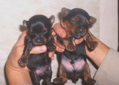 ヨークシャテリアの子犬オス2頭メス1頭、生後3週間画像