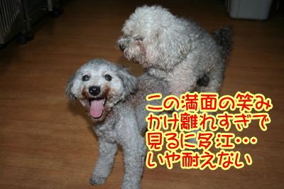 トイプードルシルバー(グレー)犬の交配、種オスシルバーAMCHルフィ画像