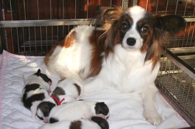 パピヨン白茶の子犬オスメス、生後2週間画像