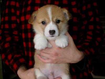 ウェルシュコーギーレッド&ホワイの子犬オス、生後1ヶ月過ぎ画像