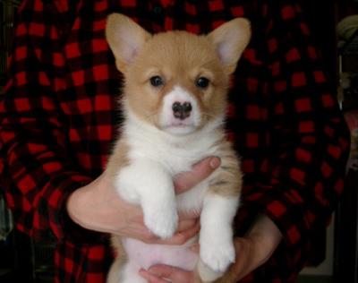 ウェルシュコーギーレッド&ホワイの子犬メス、生後1ヶ月過ぎ画像