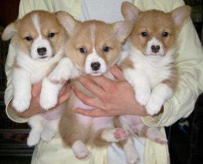 ウェルシュコーギーレッド&ホワイの子犬オス2頭メス1頭、生後1ヶ月過ぎ画像