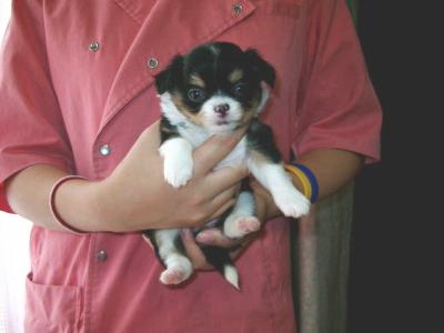 チワワロングブラックタンホワイトの子犬メス、生後1ヶ月画像