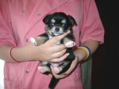 チワワロングブラックタンの子犬メス、生後1ヶ月画像