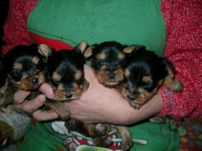 ヨークシャテリア(ヨーキー)の子犬オス2頭メス2頭、生後1ヶ月過ぎ画像