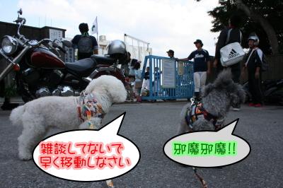 トイプードルシルバーとホワイトの成犬メス画像