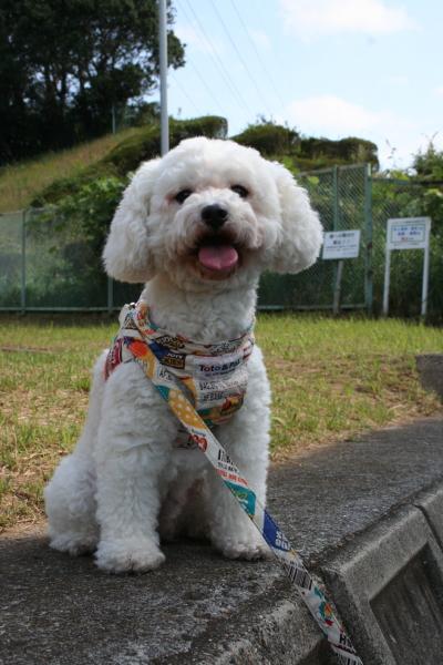 トイプードルホワイトの成犬メス画像