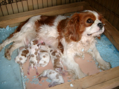 キャバリアブレンハイムの子犬オス3頭メス2頭、生後1週間画像