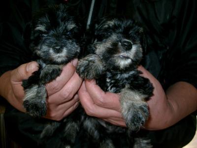ミニチュアシュナウザーブラック&シルバーの子犬オスメス、生後1ヶ月画像