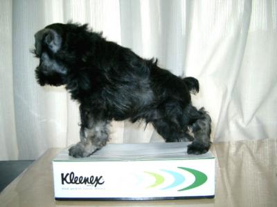 ミニチュアシュナウザーソルト&ペッパーの子犬オス、生後45日画像