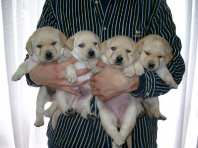 ラブラドールイエロー(クリーム色)の子犬オス2頭メス2頭、生後45日画像