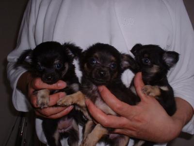 チワワロングブラックタンの子犬オス1頭メス2頭、生後45日画像