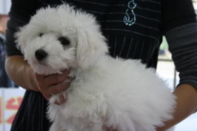 ビションフリーゼの子犬オス、生後1ヶ月画像