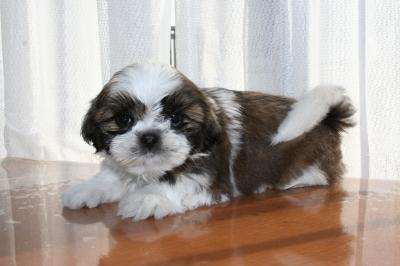 シーズーの子犬メス、生後50日画像