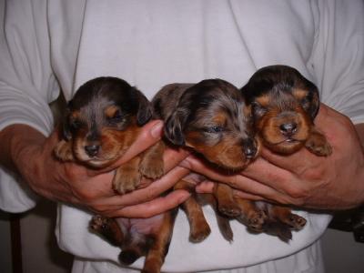 ミニチュアダックスシルバーダップルの子犬オスメス、生後2週間画像