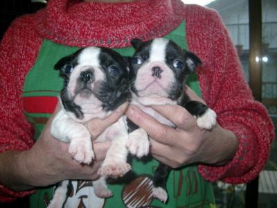 ボストンテリアの子犬オスメス、生後1ヶ月画像