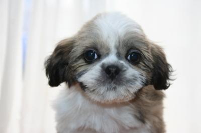 シーズーの子犬メス、生後2ヶ月画像