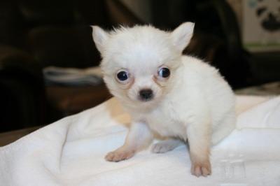 チワワロングクリーム(ホワイト)の子犬メス、生後50日画像