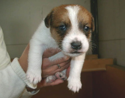 ジャックラッセルテリア白茶の子犬メス、生後45日画像
